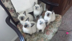 Siamese Kittens Coming Soon!
