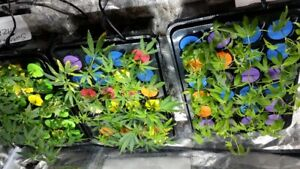 420 clones for sale adults only