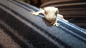 Baby crested gecko 11.24 grams