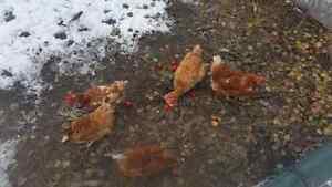 Isa brown  laying hens