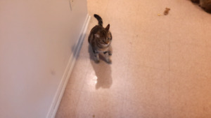 Cat for Free to good home. HAS ALL SHOTS AND NEUTERED.