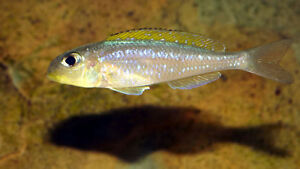 Xenotilapia flavipinnis African Cichlid