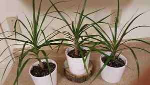 3 house plants in ceramic pots London Ontario image 1