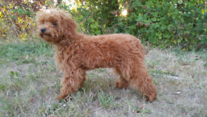 Female Red Large Toy/Miniature Poodle Puppy