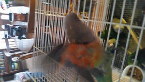 Handraised baby Red Belly parrot