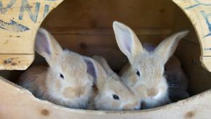 Bébé lapins, lapereaux à vendre