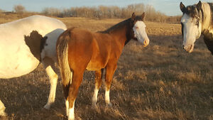 Apha colts for pony / horse