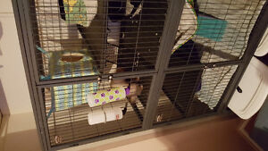 FREE!2 ferrets plus 2 story cage