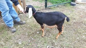 Hand-Reared Nubian Wether - Sale Pending