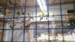 Finches, Canaries