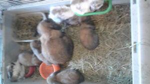 A vendre lapins bélier nain hollandais  bébés et adultes