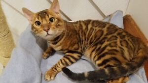 TICA Registered Intact Adult Male Bengal