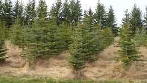 Blue and white spruce trees
