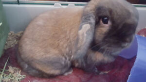 Adorable Holland Lop Eared Bunny
