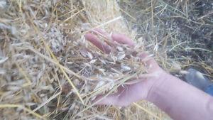 Yellow feed oats and clover bales Regina Regina Area image 1