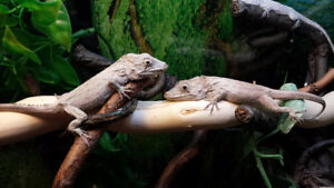BARBATUS ANOLIS/CUBAN FALSE CHAMELEONS - PAIR