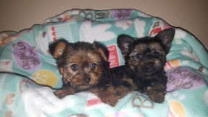 ONE MALE TEACUP YORKIE PUPPY LEFT! **NEW PRICE! **