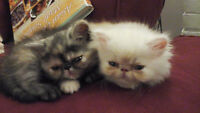 Extreme face exotic short hair and persian kittens