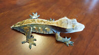 Adult Extream harlequin female crested gecko for sale