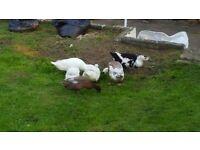 Six ducks for sale