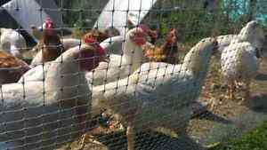 Lot of White cornish cross chickens: hens and roosters
