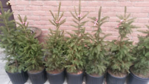 Green Spruce Trees $35