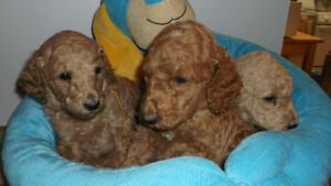 Purebred Standard Poodle Puppies for Sale in Lindsay, ON