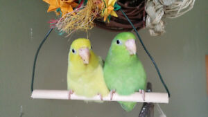 Two female pacific parrotlets
