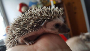 adorable bebes herissons a adopter
