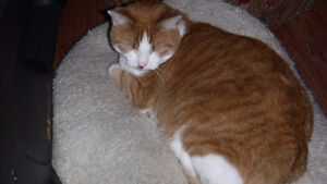 Male cat - approx 6 yrs old named Monster Sarnia Sarnia Area image 2