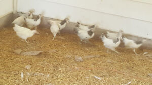 12 mixed breed unsexed chicks