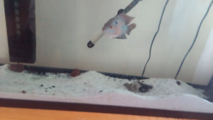 55 gallon tank, stand and male red dragon flowerhorn$250