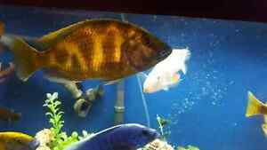 Selling 9 inches  male venustus and 10 inch male frontosa