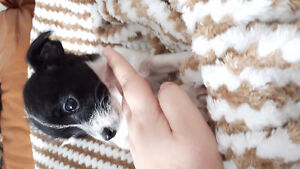 Teacup Chihuahua x Teacup toy poodle ONE BOY LEFT