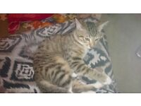 Lost Tabby cat