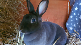 Purebred mini rex Havana chocolate doe