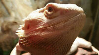 FOR SALE RUSH MALE AND FEMALE BEARDED DRAGONS ( CHEAP PRICE )