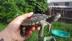 Mississippi Map Turtle + 30 gallon tank with stand