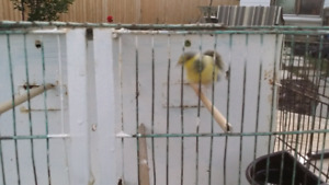 2 Healthy Canarias!! With Cages and bird Food