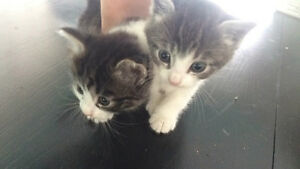 3 tabby mix barn kittens in need of rehoming