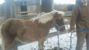 Coming Yearling Pony