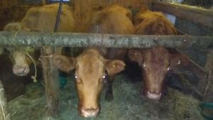 Vache à boeuf gestante