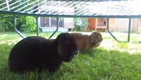 Female Lop Rabbits - located in Olds