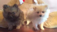 Two fluffy male purebred Pomeranian puppies for sale!