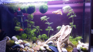 Looking for Male Betta