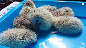 7 bebe Herisson a reserver // EN SPECIAL** Hedgehog