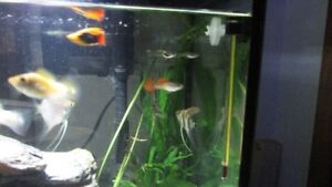 Male and female guppies, male endler guppies