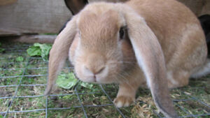 5 Month Old Meat Rabbits for Sale