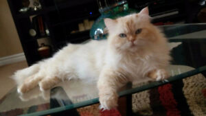 Flame Point Himalayan Male Cat