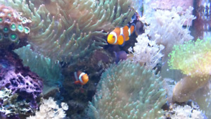 Green bubble-tip anemones for marine tanks